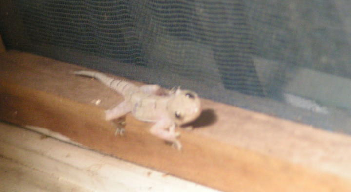 Geckos In The House